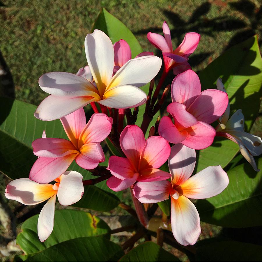 frangipani, flowers, pink flowers,