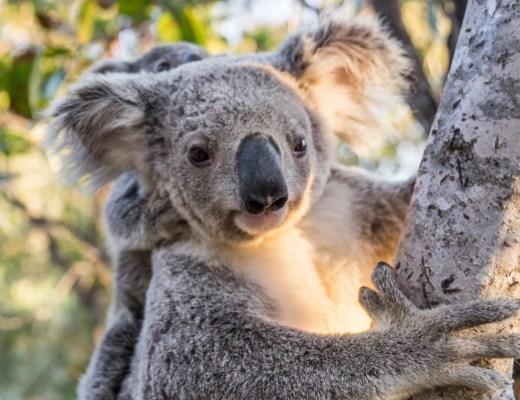 Wild Koala mother with baby, Magnetic Island, Queensland, Australia