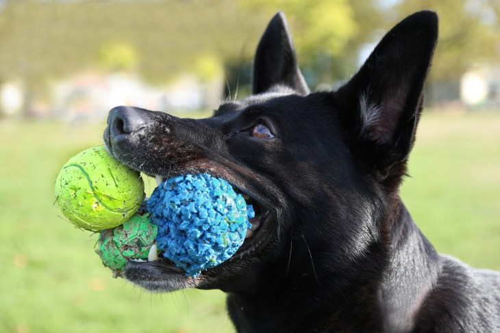 iStock-661471288_dog with balls in mouth_Working Memory.jpg