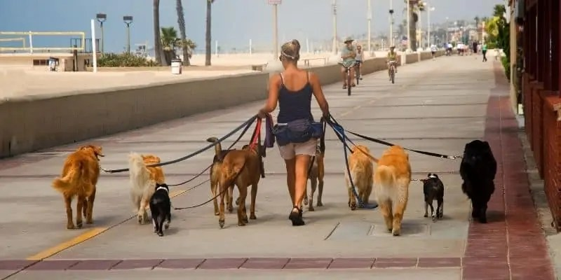 woman walking various breeds of dogs by the beach