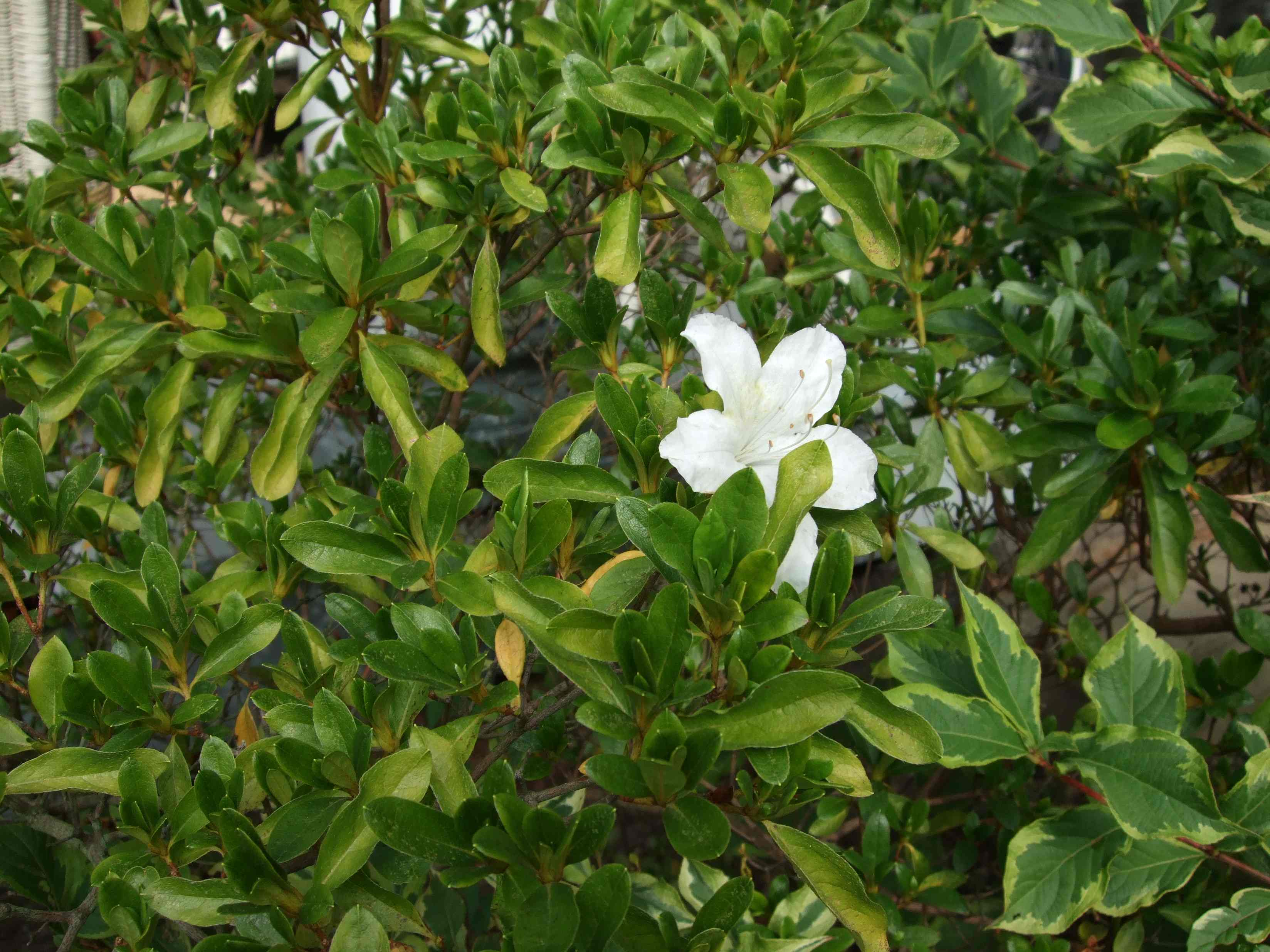 azalea in October