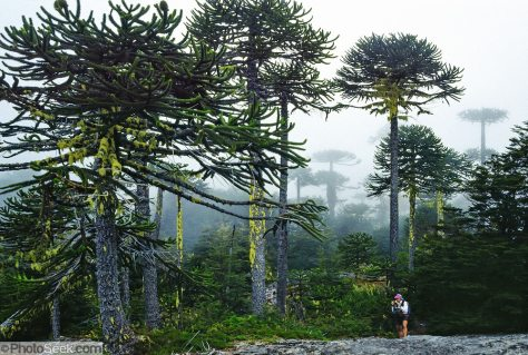 "Hear the warble of exotic birds as you walk through an enchanting Monkey Puzzle tree forest in Nahuelbuta National Park, Cordillera de Nahuelbuta, a coast range near Angol (north of Temuco), Chile, South America. Mysterious mists water a garden of yellow lichen draped over the trees. Branches form an umbrella of sharp leaves on a straight trunk which grows to over 100 feet high. Monkey Puzzle trees (Araucaria araucana) are conifers which are usually dioecious, where male and female cones grow on separate trees, though some individuals bear cones of both sexes. Its edible seeds (about 200 in each female cone) are similar to large pine nuts. Araucaria araucana, the national tree of Chile, is native to central and southern Chile and western Argentina. As the hardiest species of its genus, this tree has become popular in gardens. Unfortunately, due to logging, burning, grazing, and habitat conversion to Pinus radiata plantations, Araucaria araucana is listed as an endangered species by CITES (Convention on International Trade in Endangered Species of Wild Fauna and Flora). In France, the Monkey Puzzle tree is known as désespoir des singes or ""monkeys' despair."" What international tourist literature calls the ""Chilean Lake District"" usually refers to the foothills between Temuco and Puerto Montt including three Regions (XIV Los Ríos, IX La Araucanía, and X Los Lagos) in what Chile calls the Zona Sur (Southern Zone). Published in: 1) The ""Dinosaur Encyclopedia"" 2007 by British publisher Dorling Kindersley; and 2) United States Fish and Wildlife Service, International Affairs web site concerning Convention on International Trade in Endangered Species (CITES)."