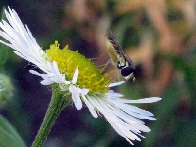 Possibly a fly on daisy fleabane
