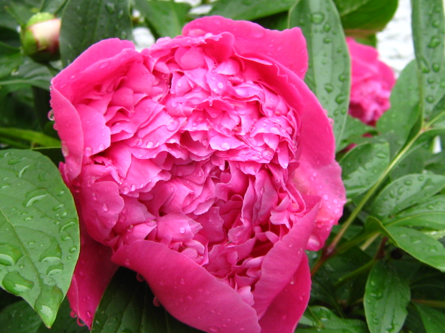 Peony after the rain
