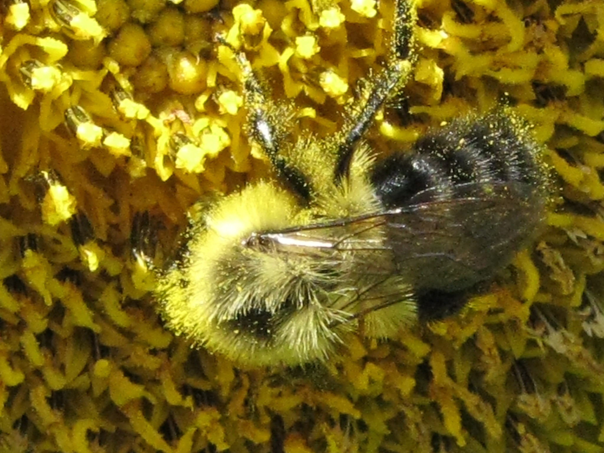 Bumblebee covered with pollen
