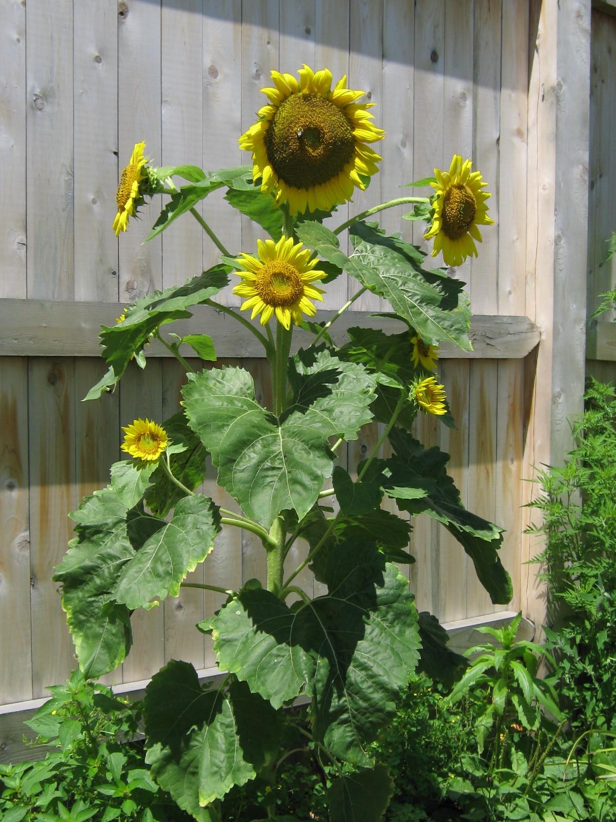 Sunflower in full glory