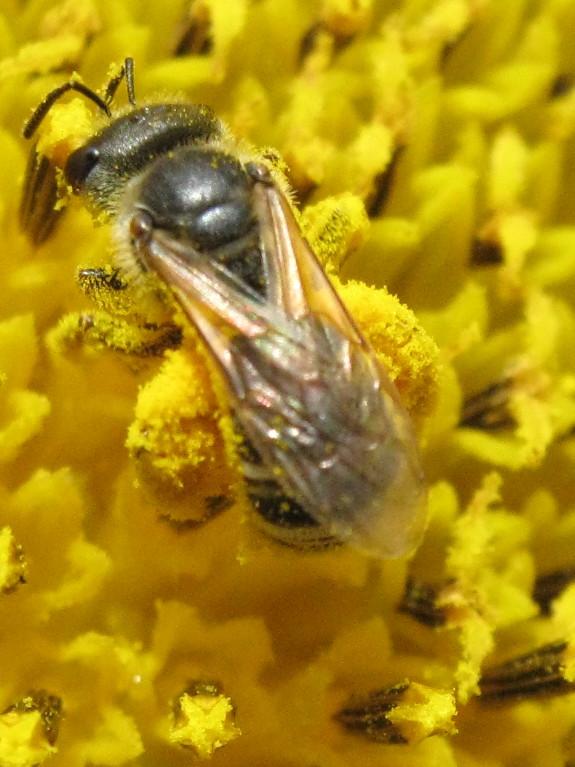 Sweat bee gathering pollen