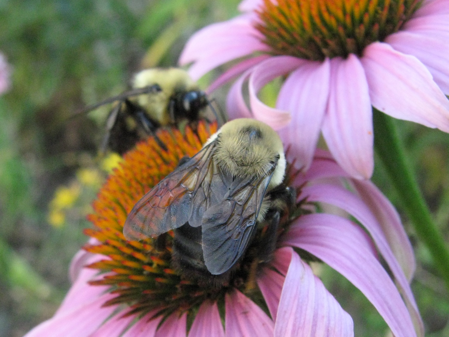 Two bumblebees jostling on a coneflower
