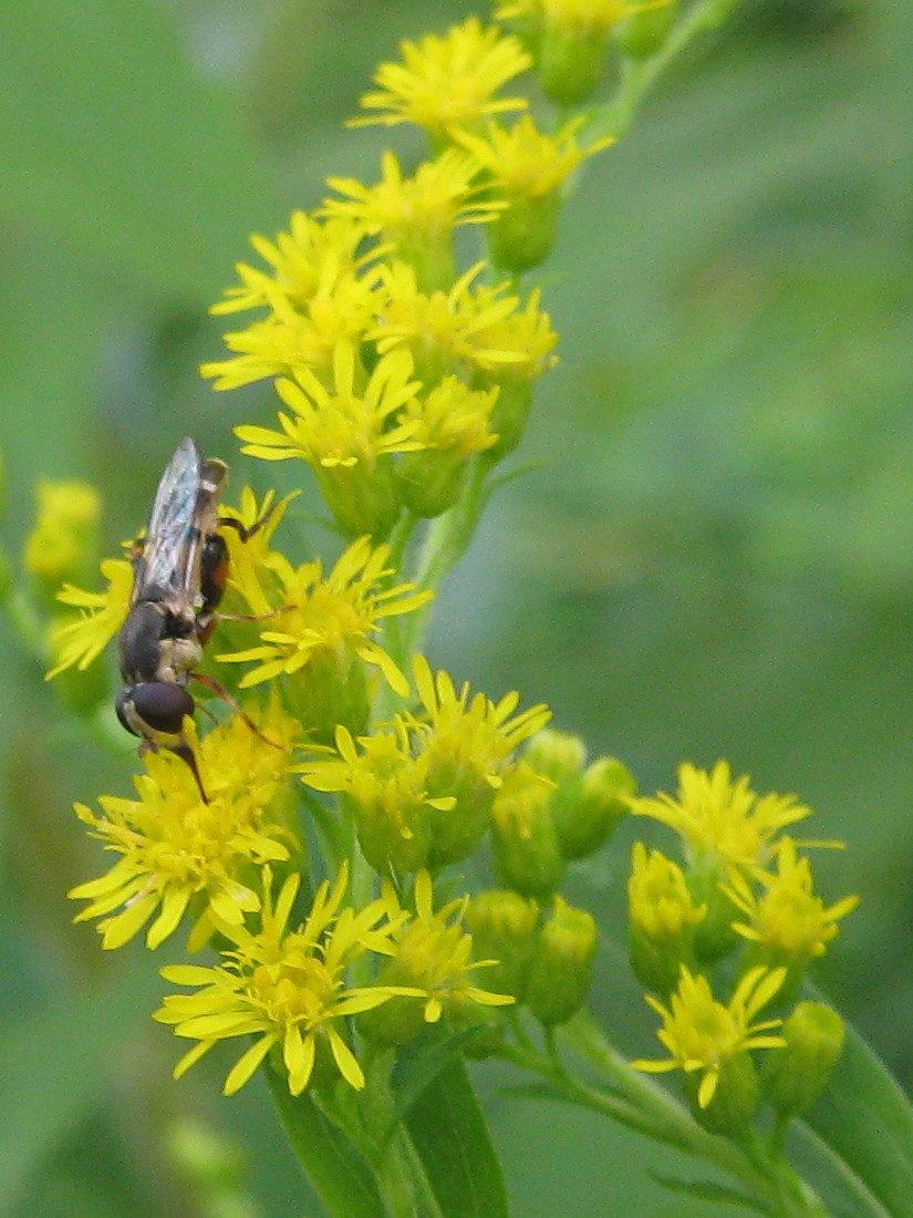 Syrphid? fly on goldenrod