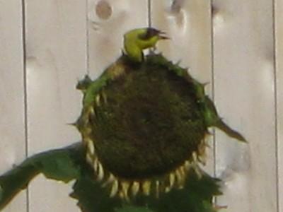 Goldfinch feeding on sunflower