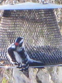 Downy Woodpecker resorting to sunflower seeds