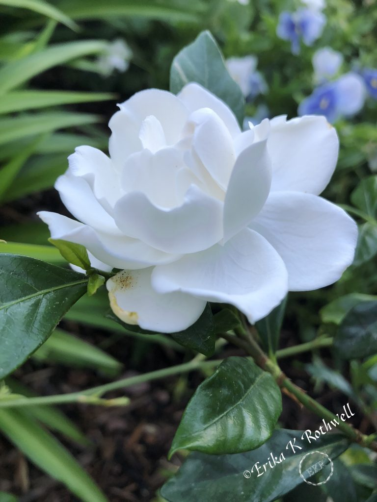 White rose by evening light