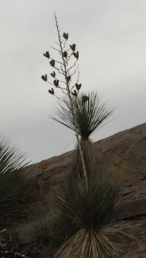 A Yucca, NM state plant
