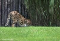 Cheetah butt