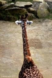 Giraffe in thought