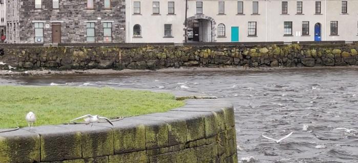 Black Headed Gulls on the Claddagh