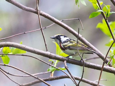 Chestnut-sided Warbler: Photo by John Jackson (www.flickr.com/photos/bkroadphoto)
