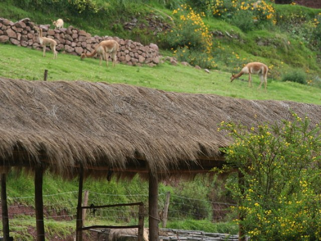Vicuna viewing area