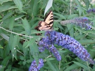 IMG_0460 Butterfly feeding