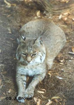 december-bobcat-vertical