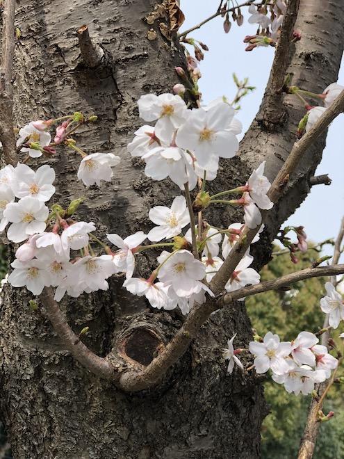2018年桜