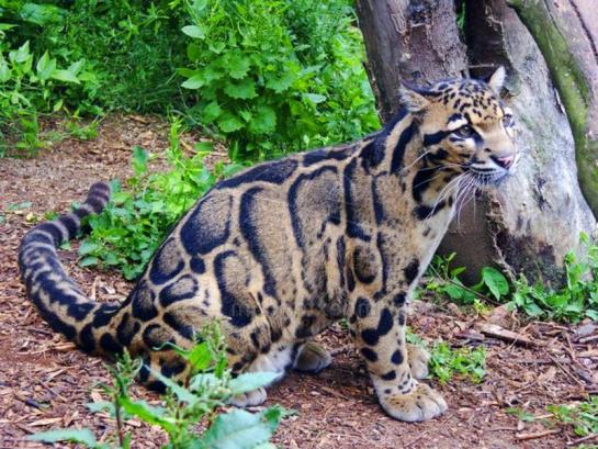 Esto si es de celebrar: reaparece leopardo nublado después de 30 años