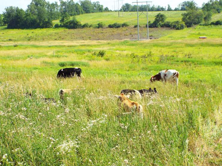 The background shows the pigs' progress through the pasture.