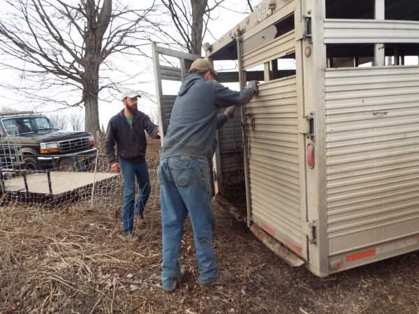 Matt trucked the heifers for us.