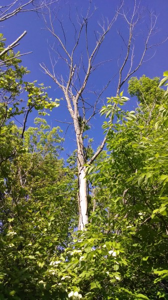 Dead ash in stand