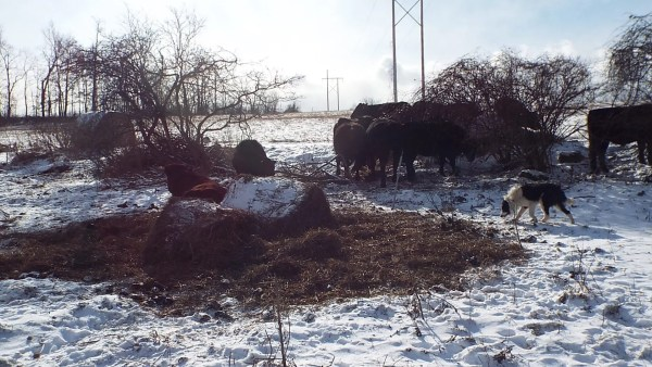 The bull is resting on the bale residue while ruminating.  Most of this pile will be gone by the next day.