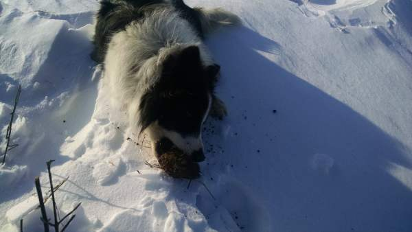 What a dog really wants:  turds.  Here he's gnawing frozen cow turds.  But pig, chicken, and cat turds are all relished.