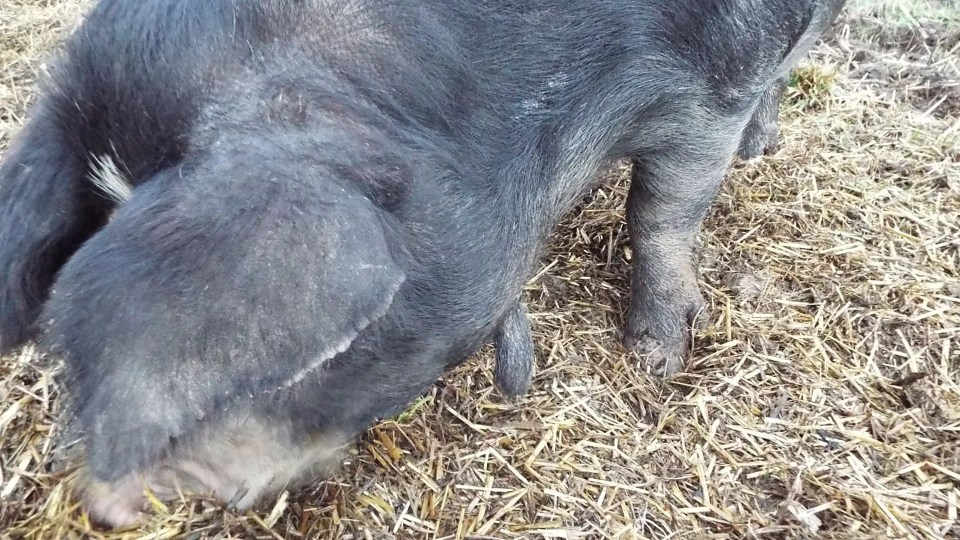 The wattle trait doesn't pass on to all offspring, but this sow is an F1 cross between Red Wattle and Berkshire.