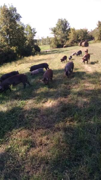 The picture is blurry, but that's because I took it while walking backwards.  The kids were with me when we encountered this group of a dozen pigs meandering through the hedgerows eating fallen apples.  We grabbed some buckets and starting rattling the buckets (the pigs assume this means we have food for them), and they followed us a quarter mile back to where they were supposed to be.