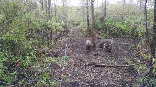 Walking the pigs' fenceline to make sure everything is secure.  The two gilts are taking a walk with me, perhaps to spy on my activities in planning their next breakout.
