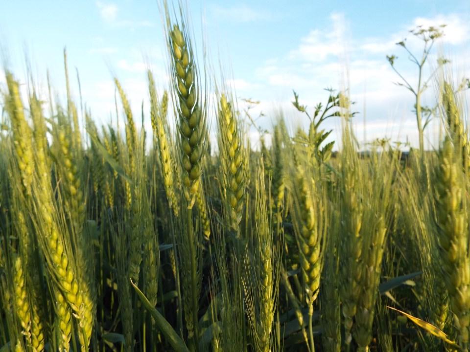 DSCF3533wheat
