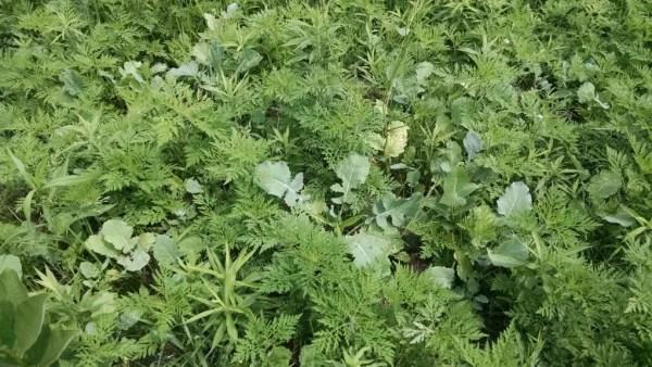 Rape Growing in Weeds