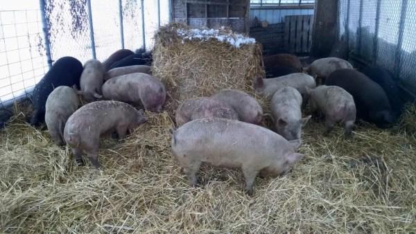 pigs-straw-bales
