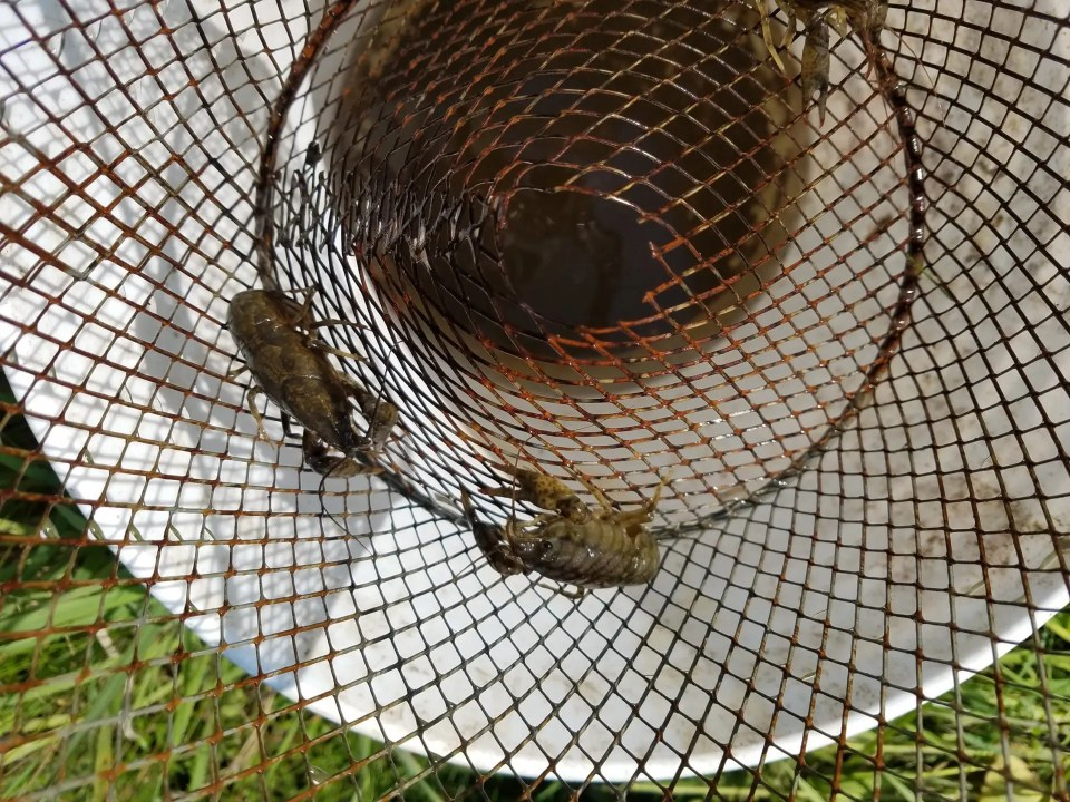 Crayfish in trap