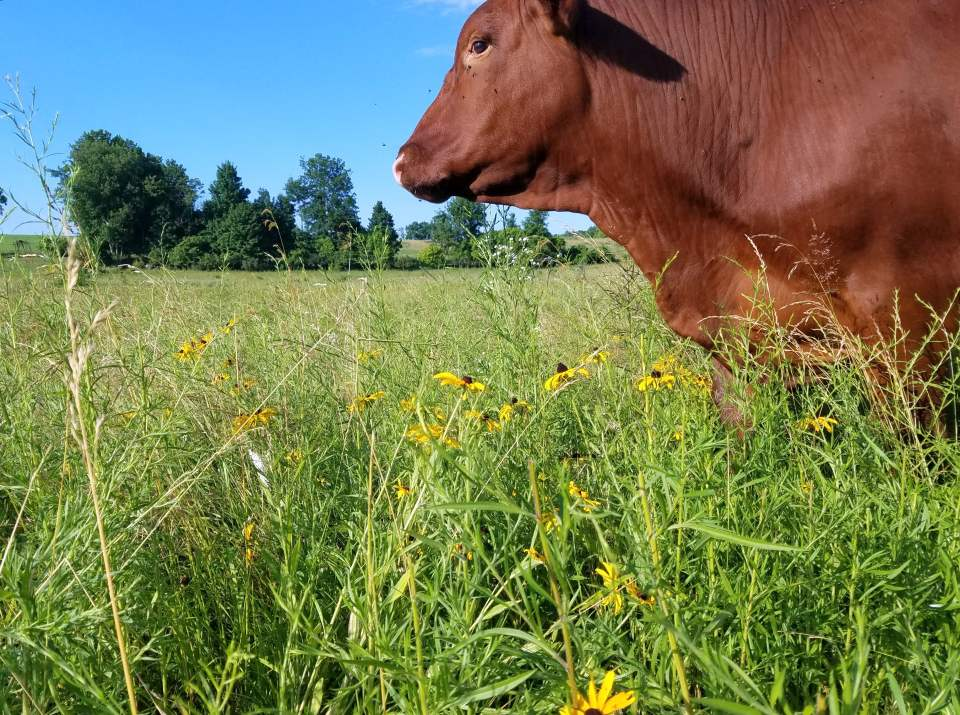 A grassfed beef steer grazing late summer pastures at Wrong Direction Farm.