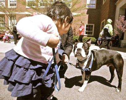 boston brookline portrait boston terrier 4