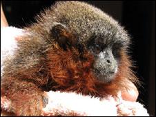 Mono. Foto: Javier García/Conservación Internacional