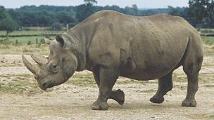 Tê giác trắng