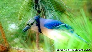 Arrendajo azul o urraca azul (Cyanocitta cristata) Foto SPL
