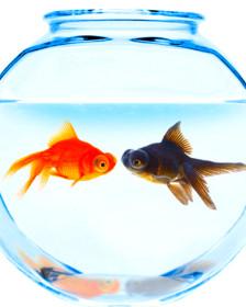 Pecera con dos peces Rey Midas de difefentes colores