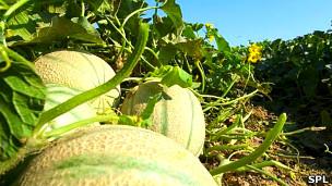 Cultivo de melón Foto: SPL