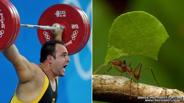 Levantador de pesas y hormiga