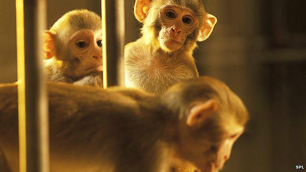 Macaco consegue controlar braço de outro com pensamento (SPL)