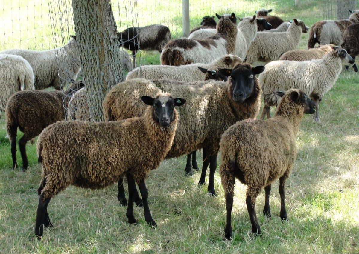 Midwest Hair Sheep Sale to be Held in Salem October 6 | WSLM