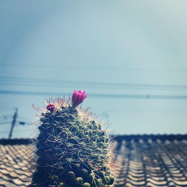 こんにちは。サボ子さんの最後のひと花が、終わりそうです。春も終わり、夏になりますね。シミジミ。#イマソラ #mysky #sky #green #cactus #flower #fine
