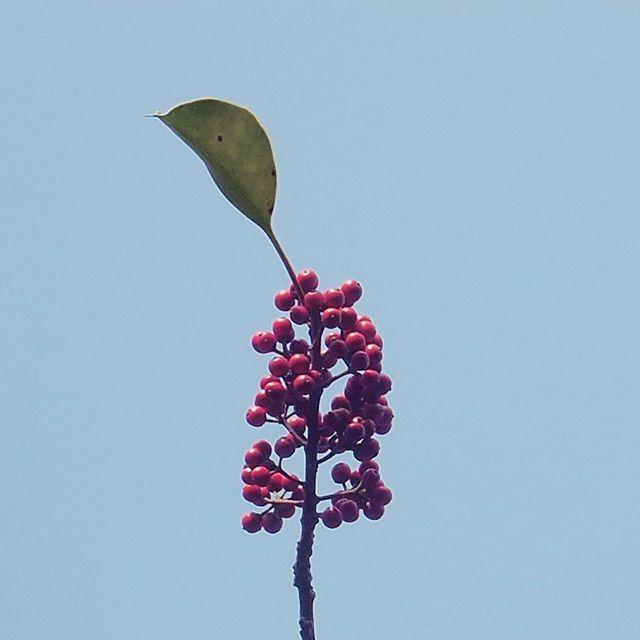 あと何日か後の来年へ、フレー!フレー!#イマソラ #mysky #sky #fine #trees #red #fruit #leaf #winter #december #2015